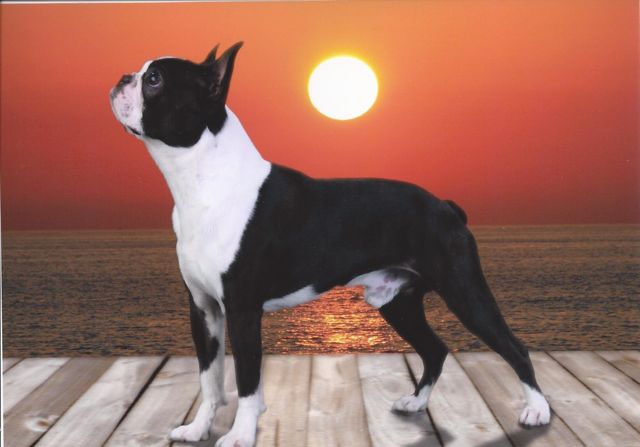 Caden: Boston Terrier in the show ring.