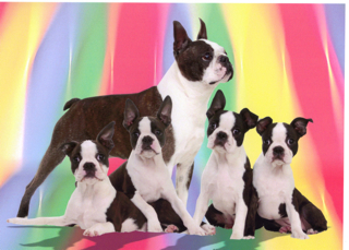 Jeri Good, Boston Terriers