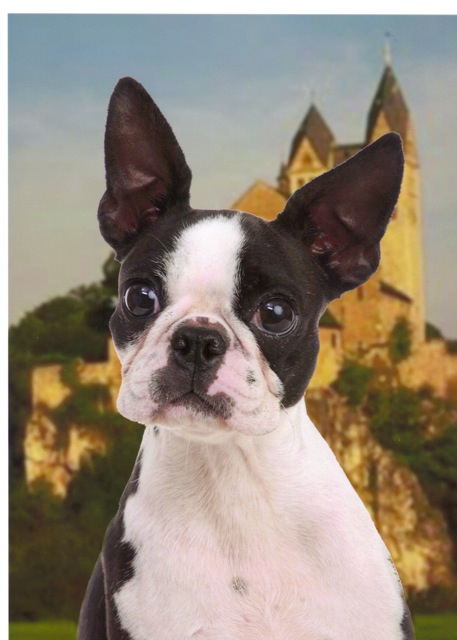 Boston Terrier family with beautiful show dogs of fine pedigree