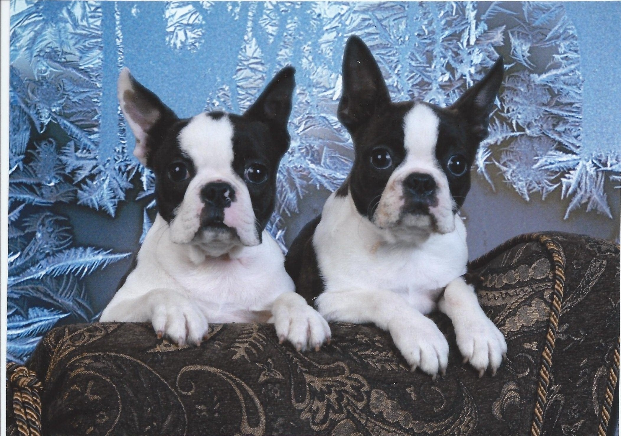 Boston Terrier pedigree pup for sale Indiana