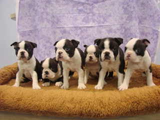 Boston Terrier littler of 6