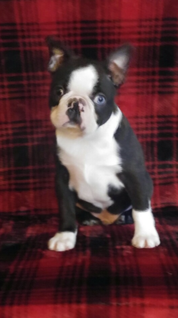 Boston Terrier puppy, in the heritage of Cosmo, for adoption in January 2020